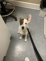 Jack Russell Terrier Puppies for sale in Baltimore, MD, USA. price: NA