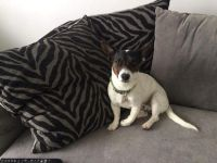 Jack Russell Terrier Puppies for sale in California St, San Francisco, CA, USA. price: NA