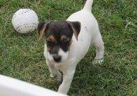 Jack Russell Terrier Puppies for sale in Tuscaloosa, AL, USA. price: NA