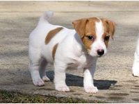 Jack Russell Terrier Puppies for sale in Austin, TX, USA. price: NA