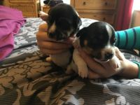 Jack Russell Terrier Puppies for sale in Cary, NC, USA. price: NA