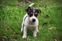 Jack Russell Terrier Puppies for sale in Charleston, SC, USA. price: NA
