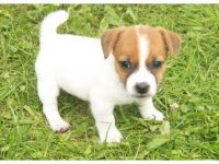 Jack Russell Terrier Puppies for sale in Charleston, WV, USA. price: NA