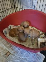 Jack Russell Terrier Puppies for sale in Texas City, TX, USA. price: NA