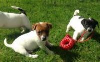Jack Russell Terrier Puppies for sale in Richmond, VA, USA. price: NA