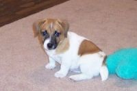 Jack Russell Terrier Puppies for sale in Las Vegas, NV, USA. price: NA