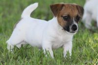 Jack Russell Terrier Puppies for sale in Wisconsin Dells, WI, USA. price: NA
