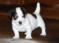 Jack Russell Terrier Puppies for sale in Miami, FL, USA. price: NA