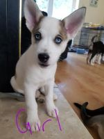 Jack Russell Terrier Puppies for sale in Oregon, OH, USA. price: NA