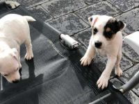 Jack Russell Terrier Puppies for sale in NJ-10, Randolph, NJ, USA. price: NA