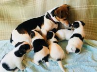 Jack Russell Terrier Puppies for sale in Mapaville, MO 63050, USA. price: NA
