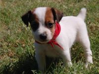 Jack Russell Terrier Puppies for sale in Los Angeles County, CA, USA. price: NA