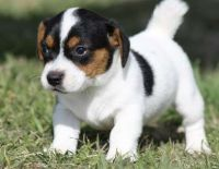 Jack Russell Terrier Puppies for sale in Dallas, TX, USA. price: NA