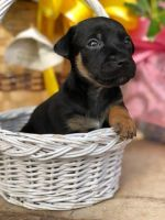Jack Russell Terrier Puppies for sale in Jonesville, LA 71343, USA. price: NA
