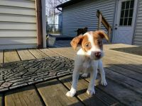 Jack Russell Terrier Puppies for sale in St Johns, MI 48879, USA. price: NA