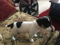 Jack Russell Terrier Puppies for sale in Indianapolis, IN 46202, USA. price: NA