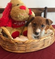 Jack Russell Terrier Puppies for sale in 700 W 5th St, San Pedro, CA 90731, USA. price: NA