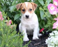 Jack Russell Terrier Puppies for sale in Miami Beach, FL, USA. price: NA
