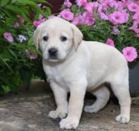 Jack Russell Terrier Puppies for sale in Alabaster, AL, USA. price: NA