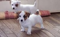 Jack Russell Terrier Puppies for sale in Michigan Ave, Inkster, MI 48141, USA. price: NA