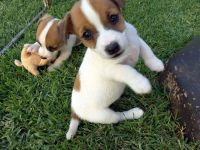 Jack Russell Terrier Puppies for sale in Kansas City, KS, USA. price: NA