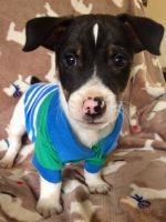 Jack Russell Terrier Puppies for sale in Benton Harbor, MI 49022, USA. price: NA