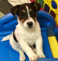 Jack Russell Terrier Puppies for sale in Little Rock, AR 72206, USA. price: NA