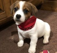 Jack Russell Terrier Puppies for sale in Denver, CO 80219, USA. price: NA