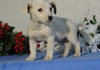 Jack Russell Terrier Puppies for sale in New Bedford, MA 02741, USA. price: NA