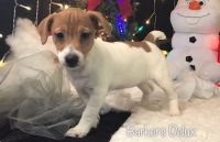 Jack Russell Terrier Puppies for sale in Springfield, MA 01119, USA. price: NA