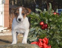 Jack Russell Terrier Puppies for sale in Lowell, MA 01851, USA. price: NA