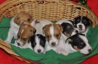 Jack Russell Terrier Puppies for sale in Baton Rouge, LA, USA. price: NA