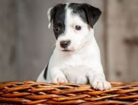 Jack Russell Terrier Puppies for sale in Madison, WI 53707, USA. price: NA