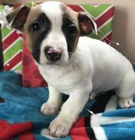 Jack Russell Terrier Puppies for sale in Houston, TX 77248, USA. price: NA