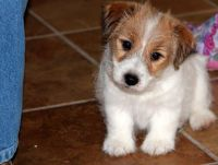 Jack Russell Terrier Puppies for sale in Chicago, IL 60616, USA. price: NA