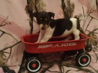 Jack Russell Terrier Puppies for sale in Benton, IL, USA. price: NA