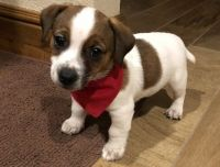 Jack Russell Terrier Puppies for sale in Detroit, MI 48227, USA. price: NA