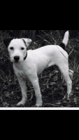 Jack Russell Terrier Puppies for sale in Mayfield, KY 42066, USA. price: NA