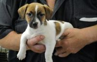 Jack Russell Terrier Puppies for sale in Newark, NJ 07189, USA. price: NA