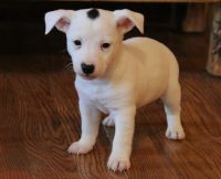 Jack Russell Terrier Puppies for sale in Waterbury, CT, USA. price: NA