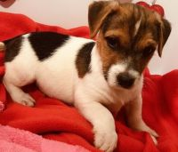 Jack Russell Terrier Puppies for sale in Little Rock, AR 72204, USA. price: NA