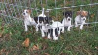 Jack Russell Terrier Puppies for sale in Spotsylvania Courthouse, VA, USA. price: NA