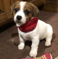 Jack Russell Terrier Puppies for sale in Springfield, IL 62736, USA. price: NA