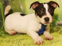 Jack Russell Terrier Puppies for sale in Milwaukee, WI, USA. price: NA