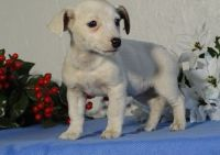 Jack Russell Terrier Puppies for sale in Orlando, FL 32868, USA. price: NA