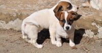 Jack Russell Terrier Puppies for sale in Phoenix, AZ 85069, USA. price: NA