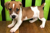 Jack Russell Terrier Puppies for sale in Fort Worth, TX, USA. price: NA