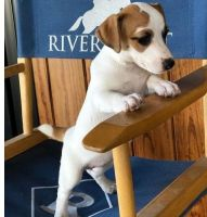 Jack Russell Terrier Puppies for sale in Chicago, IL 60668, USA. price: NA