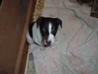 Jack Russell Terrier Puppies for sale in Richland Center, WI 53581, USA. price: NA