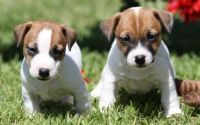 Jack Russell Terrier Puppies for sale in Atlanta, GA 30384, USA. price: NA